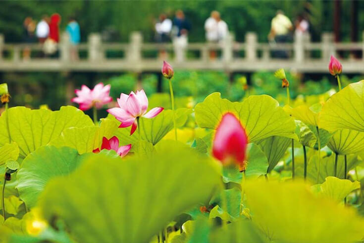 Prenez des photos avec l'étang aux lotus